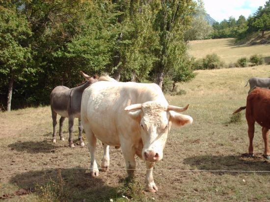 Louma la vache