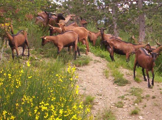 chèvres en balade
