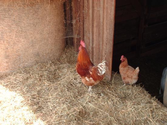le coq et la poule